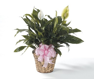 Natural Basket Peace Lily with Pink Bow