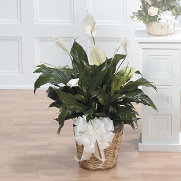 Natural Basket Peace Lily with White Bow