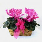 Two Cyclamen In Basket