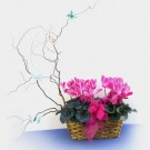 Butterfly Cyclamen Basket