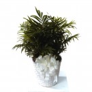 Parlor Palm Plant Basket