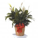 Natural Basket Peace Lily