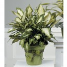 Dieffenbachia Plant Potted With Moss